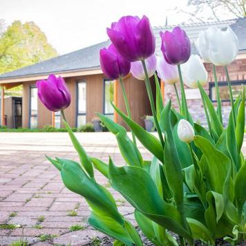 Tulpen voor Hospice